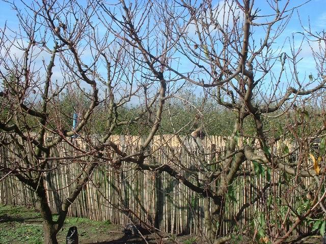 Enfermedades del duraznero for Arboles que no se le caen las hojas en invierno